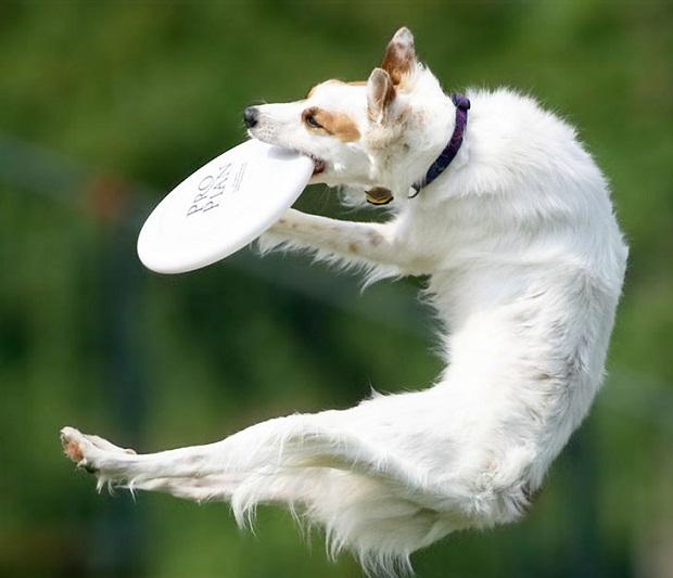 frisbie perro